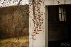 bittersweet (Jennifer MacNeill) Tags: bittersweet berries berry fall barn farm stable valleyforge pa autumn seasons pennsylvania knox headquarters revolutionarywar