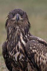 """Ritratto Aquila di mare (""""Marco50"""" Marco Mattei) Tags: aquila aquiladimare poland polonia birds bird eagles ritratto portrait primopiano avifauna natura greatphotographers"""