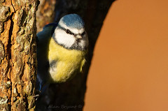 Blue Tit (Alan-Bryant) Tags: bluetit bluetitbird tit bird birdphotography canon canon500mm canon1dmkiv canonef500mmf40lisusm