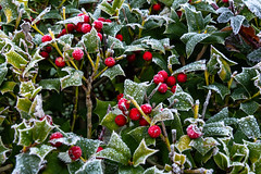 Frosted holly hedge (20191119) (Graham Dash) Tags: addlestone berries frost holly hollyberries 2019pad