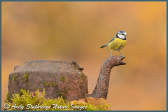 """"""" Anyone for a Cuppa ? """"-Bluetit on Old Rusted Kettle (www.andystuthridgenatureimages.co.uk) Tags: tit titmouse blue perched kettle old rusty rusted garden woods bird wildlife photography canon moss leaves autumn woodland"""