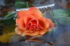 DSC_9012 (griecocathy) Tags: macro fleur rose feuille eau gelée glace relief tiges vert orange oranger marron cristal saumoné