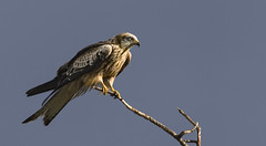 Cool Menacing Bird of Prey... But a few seconds later...  (See next Pic) (Ann and Chris) Tags: awesome birdofprey redkite kite beautiful perched perching tree impressive majestic stunning wild