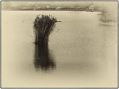 Day 324 A common sight (Dominic@Caterham) Tags: lake water reeds sepia ducks trees