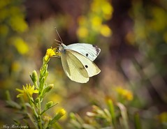 November butterfly (mary.th) Tags: insect butterfly flower petal nature bokeh macro closeup autumn day sunlight