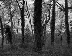 In a Wood, Washington (austin granger) Tags: wood woods trees ivy columbiarivergorge washington pacificnorthwest film largeformat chamonix