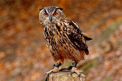 Errol | Northern Eagle Owl (picsessionphotoarts) Tags: nikon nikonphotography nikonfotografie nikond850 norddeutschland afsnikkor200500mmf56eedvr tierfotografie animalphotography inthefields countrysidelife falknerei falconry eule uhu owl northerneagleowl