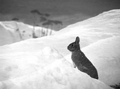 Where to Go Now? (kfocean01) Tags: nature winter snow blackwhitephotos wildlife animal rabbit white black blackandwhitewednesday