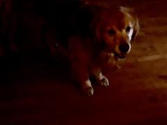 In The Darkness (bztraining) Tags: dogchal henry bzdogs bztraining retriever golden