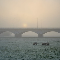 Sunrise in the Netherlands (© Jenco van Zalk) Tags: netherlands zwolle fog mist sheep ijsselbrug milvus milvus1450