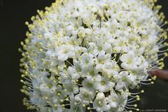 (LLD photographie) Tags: fleur botanique nature jardin fleurblancheetjaune