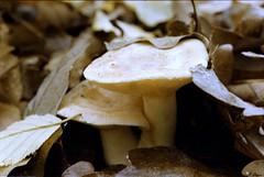 Lactaire - Forêt de Dreux (Philippe_28) Tags: 28 eureetloir france europe argentique analogue camera photographie film 135 forêt champignon mushroom