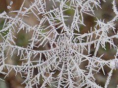 web indet (BSCG (Badenoch and Strathspey Conservation Group)) Tags: web frost november arachnid spider