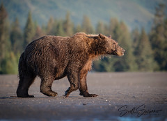 Happy Hump Day... (DTT67) Tags: nature animal alaska canon mammal wildlife lakeclark bear grizzlybear 1dxmkii