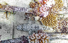 crocodile fish hidden in a wreck (werner boehm *) Tags: wernerboehm crocodilefish scubadiving wreck redsea egypt