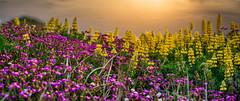 Spring Flower Sunset Pano (David Hamments) Tags: sunsetwalk manualfocus135mm newzealand nz waikanaebeach panorama flowers fantasticnature flickrunitedaward