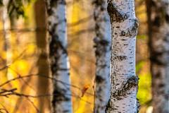 Dimensions of Fall (*Capture the Moment*) Tags: 2018 2019 backlight backlit bäume filze fotowalk gegenlicht inzell landschaften sonya6300 sonye356318200oss sonyilce6300 trees