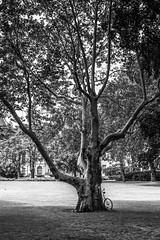 a bicycle and a tree (gregor.zukowski) Tags: poznan poznań street streetphoto streetphotography candid blackandwhite blackandwhitestreetphotography tree bicycle urban urbanlandscape park fujifilm nopeople