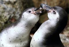 PINGUS IN LOVE (babsbaron ( Bella )) Tags: nature naturfotografie naturephotographie tiere tierfotografie animals animalphotographie vogel vögel birds pinguine penguins tierpark zoo thüle animalpark canon eos