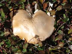 Giant Heart Shaped Mushroom Growing beside the Icefields Parkway, Alberta (Joseph Hollick) Tags: mushroom alberta fungus fungi icefieldsparkway heart heartshape