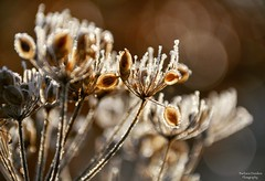 Timeless Memory (barbara_donders) Tags: natuur nature bevroren frozen morning ochtend autumn herfst bokeh macro beautiful magical magisch mooi prachtig flora