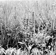 Ajuga reptans L. Kriechender Günsel Bugle, Blue Bugle, Bugleherb, Bugleweed, Carpetweed, Carpet Bugleweed (Spiranthes2013) Tags: ajugareptans kriechendergünsel bugle bluebugle bugleherb bugleweed carpetweed carpetbugleweed ajugareptansl kfwolfstetter scan deutschland diaarchiv diascan germany becker bayern bavaria unterfranken lowerfranconia lkmiltenberg 1991 6x6dias 6x6 plant pflanze pflanzendias plantae nature natur angiospermen angiosperms monocots monokotyledonen euasteriden lippenblütlerartige lippenblütler lamiales lamiaceae günsel ajuga asterids asteriden eudicots eudicosiden