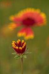 Blanketflowers (pstenzel71) Tags: blumen natur pflanzen blanketflower kokardenblume gaillardiapulchella gaillardia darktable flower bokeh