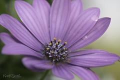 _DSC8107 (Kjersti Koløen Skistad) Tags: flower purple closeup
