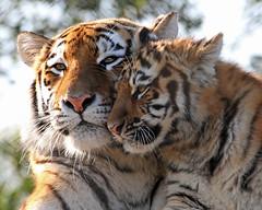 Amur Tiger and Cub (Buggers1962) Tags: amurtiger tiger tigercub bigcat flickrbigcats nature canon canon7d colchesterzoo