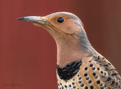 Northern Flicker (F) (Melissa M McCarthy) Tags: northernflicker flicker woodpecker bird animal nature outdoor wildlife wild portrait closeup face side profile color texture pattern female backyard mountpearl newfoundland canada canon7dmarkii canon100400isii