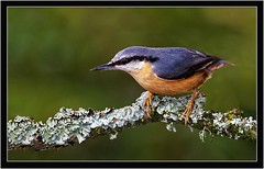 NUTHATCH (PHOTOGRAPHY STARTS WITH P.H.) Tags: nuthatch stover park south devon nikon d500 300mm 28g ii sb800