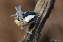 Coal tit ready to fly... (NikonNigel) Tags: copyright©nigelcox coal tit autumn