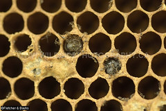 43809 After three months the Giant Asiatic Honey Bees (Apis dorsata) have abandoned their nest leaving a honeycomb with empty cells, and a few sealed cells and larvae that are attracting ants, Perak, Malaysia. (K Fletcher & D Baylis) Tags: animal wildlife fauna insect eusocial colony superorganism hymenoptera bee honeybee gianthoneybee giantasiatichoneybee megapis apis apisdorsata comb honeycomb nest beesnest cell geometry geometric hexagonal hexagons perak malaysia asia november2019 ©fletcherbaylis