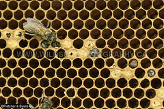 43808 After three months the Giant Asiatic Honey Bees (Apis dorsata) have abandoned their nest leaving a honeycomb with empty cells, and a few larvae and sealed cells, Perak, Malaysia. (K Fletcher & D Baylis) Tags: animal wildlife fauna insect eusocial colony superorganism hymenoptera bee honeybee gianthoneybee giantasiatichoneybee megapis apis apisdorsata comb honeycomb nest beesnest cell geometry geometric hexagonal hexagons perak malaysia asia november2019 ©fletcherbaylis
