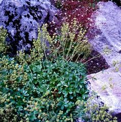Alchemilla saxatilis BUSER Silikat-Felsen Silber-Frauenmantel Silicate Rock Lady´s-Silver-Mantle (Spiranthes2013) Tags: silikatfelsensilberfrauenmantel silicaterocklady´ssilvermantle alchemillasaxatilisbuser alchemillasaxatilis pflanze plant 2019 becker nature natur deutschland germany lowerfranconia unterfranken rosales rosaceae rosids rosiden plantae plants angiospermen angiosperms eudicots eudicosiden tracheophytes alpinae alchemilla frauenmantel rosengewächse rosenartige kfwolfstetter scan diaarchiv diascan bayern bavaria lkmiltenberg 1991 6x6dias 6x6 pflanzendias