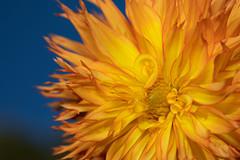 Autumn flower (Fotos4RR) Tags: closeup flower petal nopeople plant nature beautyinnature yellow outdoors dahlia flowerhead day macro macrophoto macrophotography makro makrofoto autumn herbst orange gelb blume dahlie bokeh