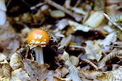 Amanite tue-mouches - Forêt de Dreux (Philippe_28) Tags: 28 eureetloir france europe argentique analogue camera photographie film 135 forêt champignon mushroom