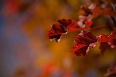 Autumn Up Close (The Good Brat) Tags: colorado us autumn foliage color leaves leaf red gold blue closeup