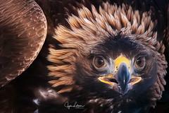 Golden Eagle Close Up (Jyrki Liikanen) Tags: goldeneagle eagle eagles bird bird´sfeather wildbird wildlife wildlifephotography wildnature wildanimal wilderness naturephotography nature naturephoto finland visitfinland jyrkiliikanenphotography nikon nikonphotography