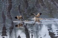 Touchdown on runway farmfield! (Picture-Perfect Pixels) Tags: potatofield water lateautumn canada britishcolumbia vancouverisland saanich rain raining floodedfarmfield farmfield animals wildlife nature bird birds waterfowl canadageese