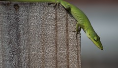 Looking A Little Down (ACEZandEIGHTZ) Tags: nature greenanole nikond3200 lizard woodenfence green reptile anoliscarolinensis coth5 coth alittlebeauty sunrays5