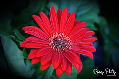 Gerbera Daisy (robtm2010) Tags: northattleboro massachusetts usa newengland eastcoast canon canon7d 7d flower plant gerberadaisy