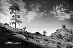 Bighorn | Zion National Park (john bulmer) Tags: zion nationalpark utah bighorn sheep