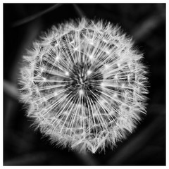Dandelion. (Tony Joness) Tags: bw bnw blackandwhite blackwhite flower olympus omdem10 omd microfourthirds mft dxophotolab dxo closeup
