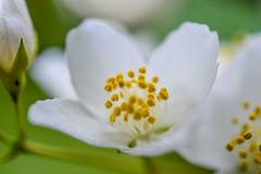 DSC_0007Jasmin (EKJPhotos) Tags: flower jasmine color white yellow macro closeup