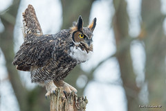 Whoo gives a hoot? (Earl Reinink) Tags: owl bird animal woods forest hoot nature wildlife outdoors feathers earlreinink greathornedowl auddduaaea