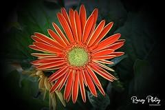 Gerbera Daisy (robtm2010) Tags: northattleboro massachusetts usa newengland eastcoast canon canon7d 7d flower plant gerberadaisy flowerscolors