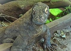 Watching you, watching me (janedoe.notts) Tags: animal animalkingdom disney nature zoo olympus omd em10markii 12100 dragon