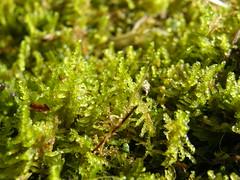 Palustriella commutata (EmilieAncolie) Tags: bryophytes mosses mousses flora flore deuxsèvres nature musgos moss biodiversité