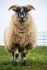 Alonso is ready for winter (Kuonen Bosatsu) Tags: ram sheep look farm switzerland foggy coat wool